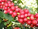 Cà phê giúp chống lại ung thư đại trực tràng